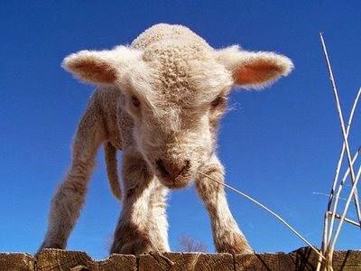 (mal)COSTUME Salviamo gli agnelli…A Pasqua meglio la bruschetta!
